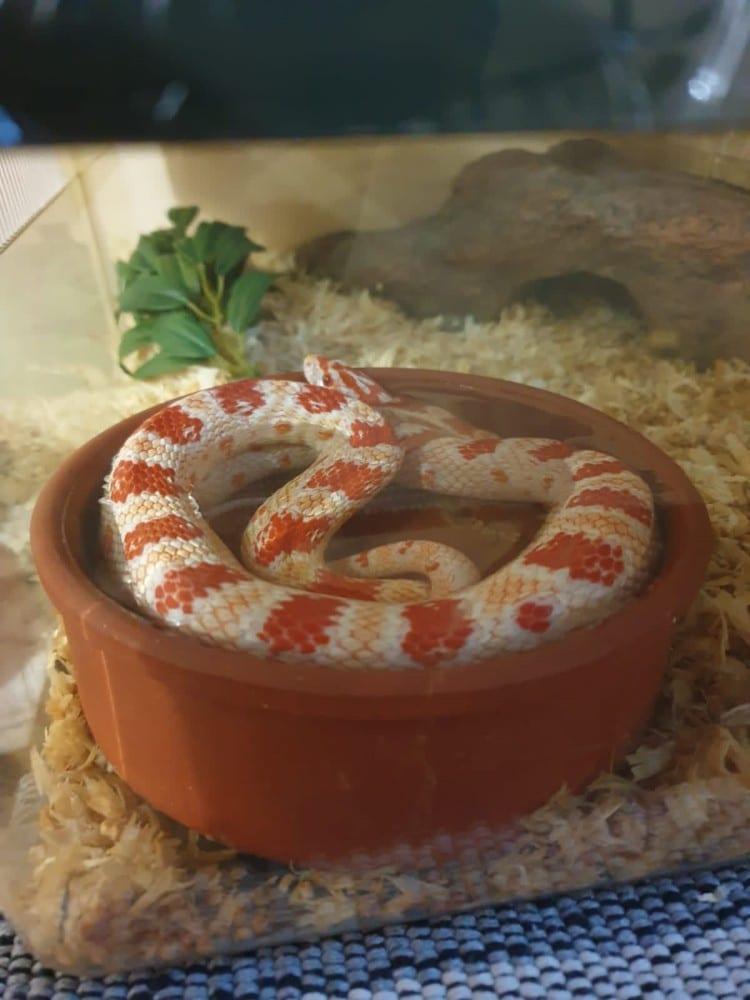 Friendly corn Snake