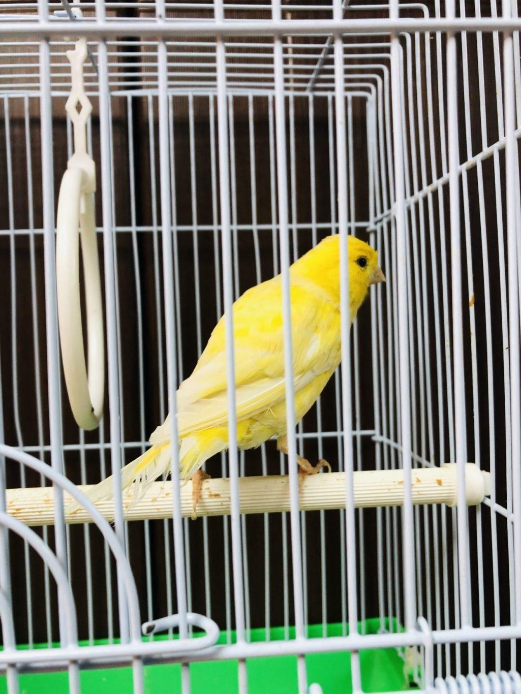 Canari bird