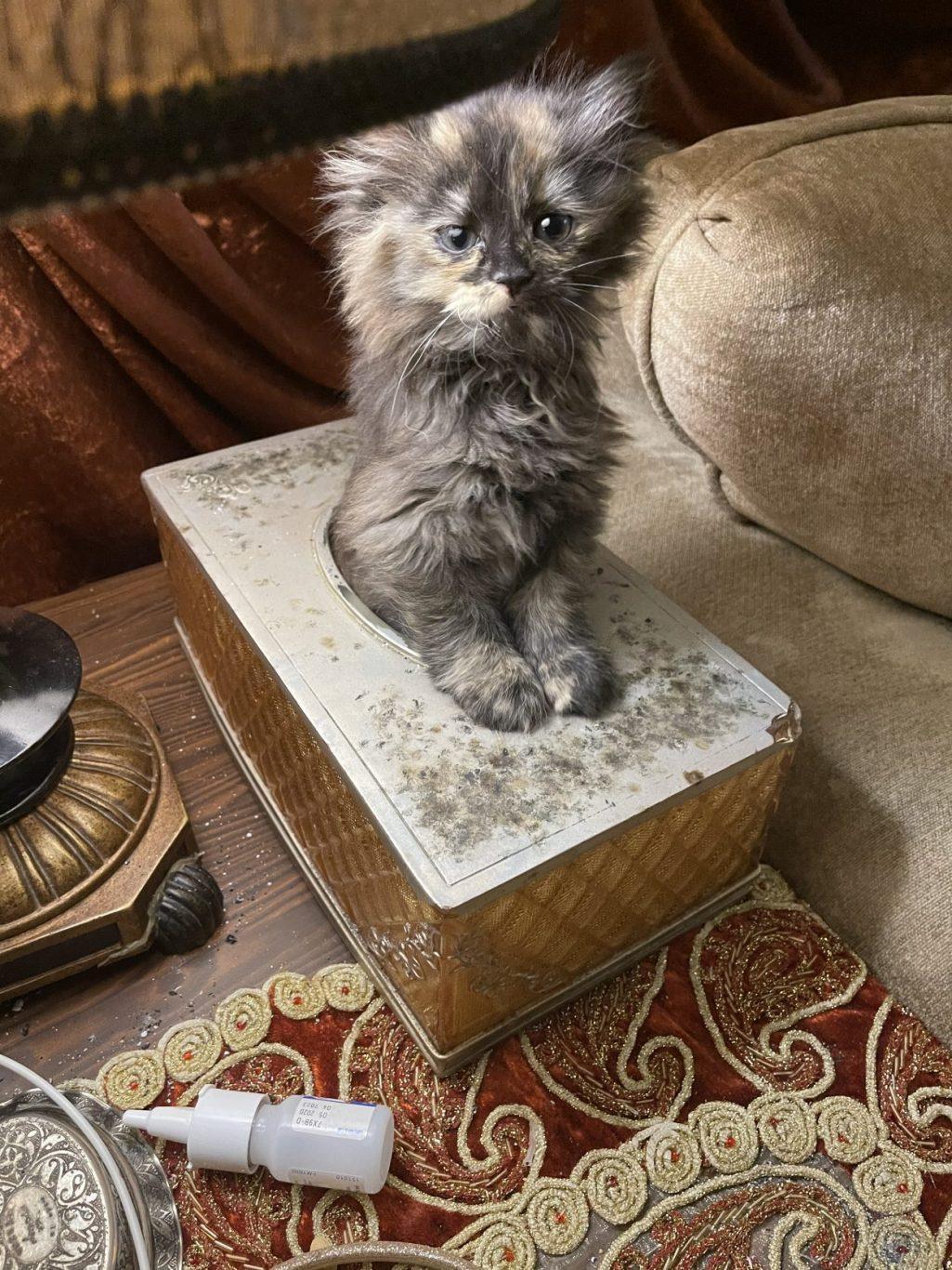Shirazy kitten
