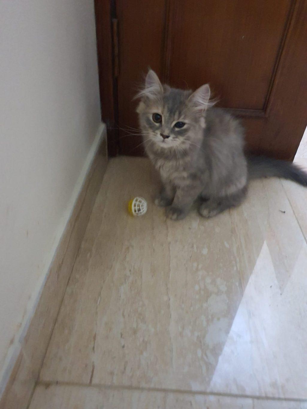 2 cats for sale boy&kitten